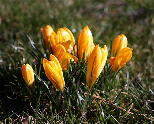 crocus-shafran